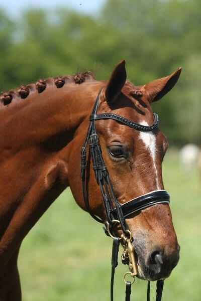 Adventure paard te koop Grand prix