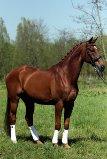 Venture CH Marum dressuurpaard te koop